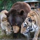 1-Lion-Tiger-Bear