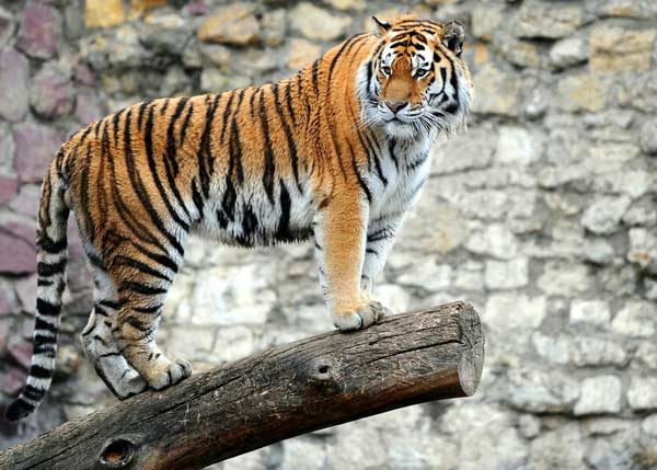 1-tiger
