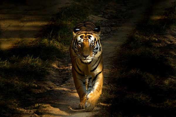 10-tiger