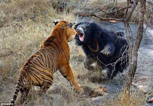 13-tiger