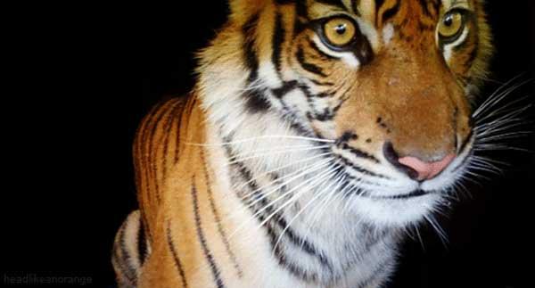 17-tiger