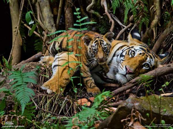 18-tiger