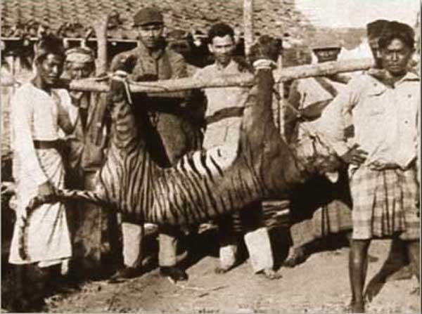 19-tiger