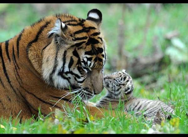 20-tiger