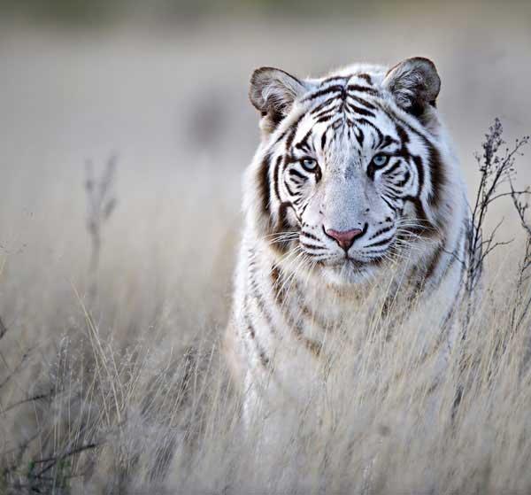 21-tiger