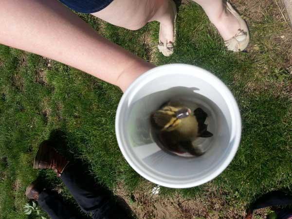 3-duckling