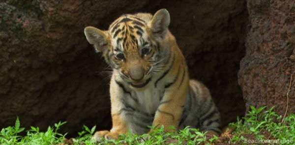 4-tiger