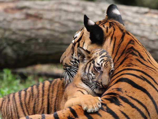 5-tiger