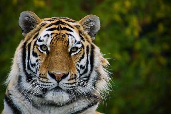 9-tiger