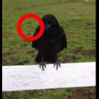 wild-raven-feat